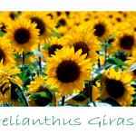 helianthus-girasol